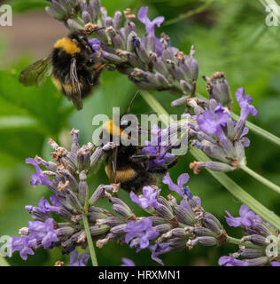 Bumble Bees collecting pollen from the garden flower - Stock Photo
