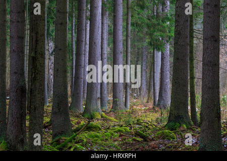 Coniferous stand of spruces in winter cloudy morning,  Bialowieza Forest, Poland, Europe - Stock Photo