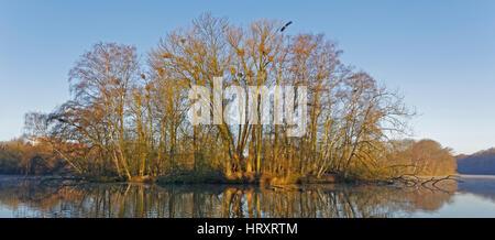 Grey Heron (Ardea cinerea), colony, Hamburg, Germany, Europe - Stock Photo