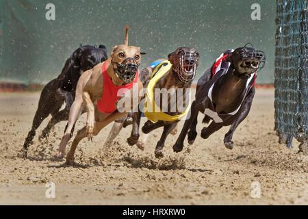 Greyhound racing, EM 2015 Hünstetten , Germany, Europe - Stock Photo