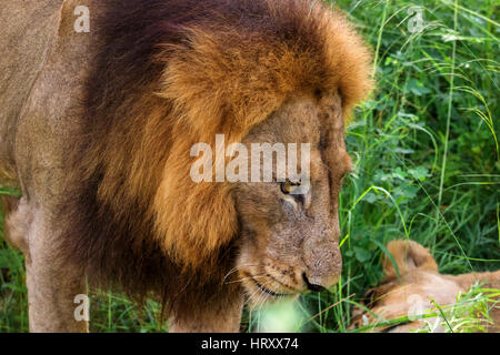 Portrait of male lion with female partner in the dense grass-Kruger National Park-South Africa - Stock Photo