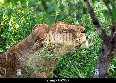 African lioness relaxed in the grassland - Stock Photo