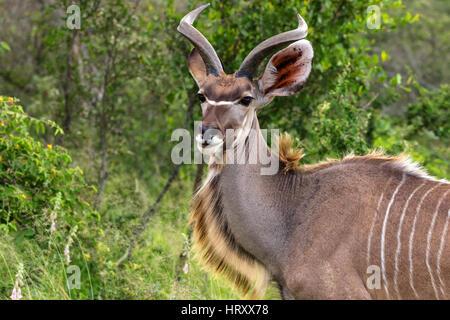 Kudu antelope, Kruger National Park, South Africa - Stock Photo