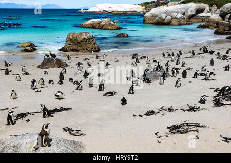 African penguins or Black-footed penguin - Spheniscus demersus - at the Boulders Beach, Cape Town, South Africa - Stock Photo