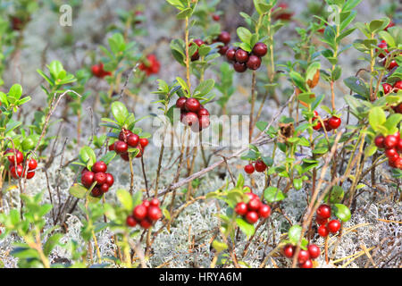 Glade cranberries in the Siberian taiga - Stock Photo