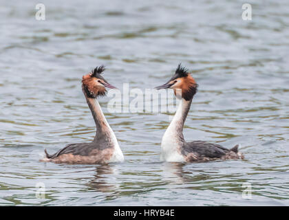 Great Crested Grebes (podiceps cristatus) performing 'weed dance' courtship display in Spring - Stock Photo