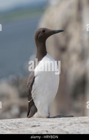 An adult common Guillemot (Uria aalge) with fish in beak, Farne Islands, Northumberland, UK - Stock Photo