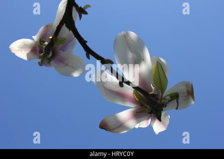 Magnolia flowers with blue sky in the background - Stock Photo