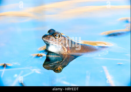Common Frog(Rana temporaria) on the hunt for a mate in a pool at Little Snoring Airfield, Norfok, United Kingdom - Stock Photo