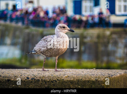 Young seagull on harbour wall at seaside - Stock Photo