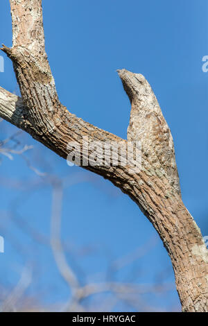 Great Potoo perched on a tree, blending in so well that it's very hard to tell the bird from the tree, in the Pantanal - Stock Photo