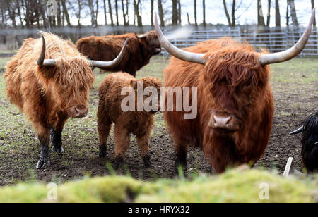 Fuhrberg, Germany. 28th Feb, 2017. Scotttish highland cattle can be seen at the farm of Henning Warnecke in Fuhrberg, - Stock Photo
