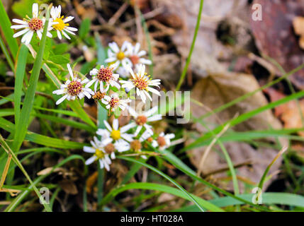 Daises nearing the end of their lifespan at the end of spring. - Stock Photo