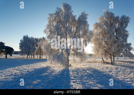 Backlit Silver Birch Trees covered in white hoar frost and snow, Thetford Forest Suffolk - Stock Photo