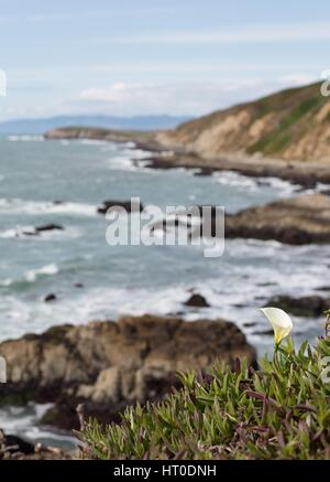 A calla lily growing on the edge of a cliff near the ocean in Bodega Head in  northern California, USA. - Stock Photo