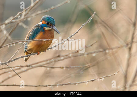 King fisher perched in small tree near river side at Arundel wetland centre. Electric blue and orange large pointed - Stock Photo