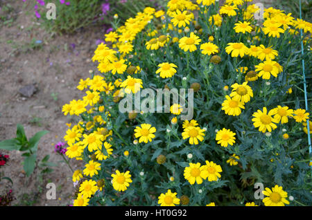 Beautiful flower garden with colourful flowers at Munnar, Kerala, India - Stock Photo