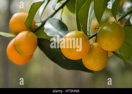 Kumquat fruit on tree - Stock Photo