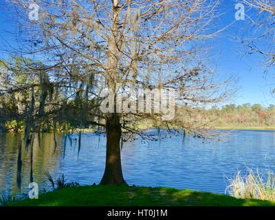 Bare cypress tree on the edge of Lake Alice, University of Florida campus, Gainesville, Florida, USA. - Stock Photo