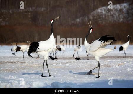 Japanese crane (Grus japonensis), courtship behavior, Akan Reserve, Hokkaido, Japan - Stock Photo