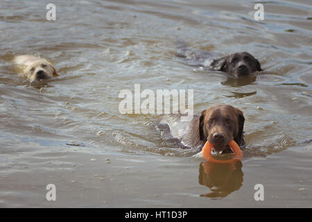 Three Labrador Retrievers play in the water with an orange ring toy, two chasing the third dog who is holding the - Stock Photo
