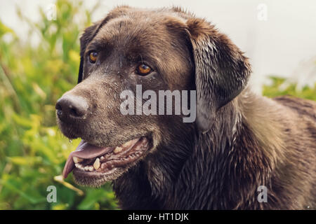 Close up image of the head of a chocolate colored Labrador Retriever with his tongue out. - Stock Photo