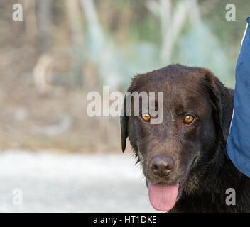 A front image of a chocolate colored Labrador Retriever with his tongue hanging out. - Stock Photo