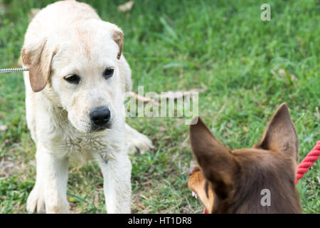 A Kelpie dog growls and bares his teeth at a Labrador Retriever puppy, who looks scared. - Stock Photo