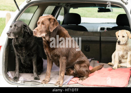 Three Labrador Retrievers sit up and look alertly out of the back of a wagon car. - Stock Photo