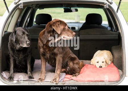 Three Lab Retrievers sit in a car, with two looking to the left and one looking directly at the camera. - Stock Photo