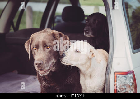 Three Labrador Retrievers sit in the back of a car while the white puppy shows affection towards one of the adult - Stock Photo
