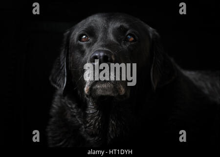 A black Labrador Retriever sits alone while isolated on a black background, with its nose and face in focus. - Stock Photo
