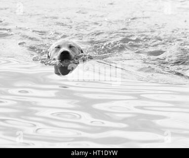 Close up of a labrador retriever puppy swimming through water with it's eyes closed, in black and white and high - Stock Photo