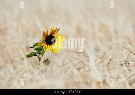 Common sunflower (Helianthus annuus) in wheat field in southcentral Montana - Stock Photo