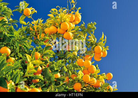 Orange tree with many fruits - Stock Photo
