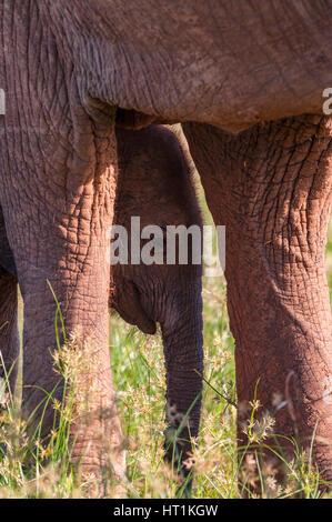 African elephant Loxodonta africana seen at Lake Kariba, Matusadona National Park Zimbabwe. - Stock Photo
