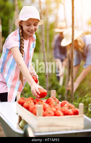 Rural family picking tomatoes in summer - Stock Photo