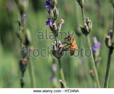 Close of bee on lavender bush - Stock Photo