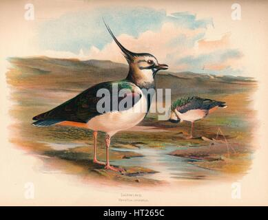 'Lapwing (Vanellus cristacus)', 1900, (1900). Artist: Charles Whymper. - Stock Photo