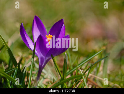 Early blooming specie crocus blooming in a lawn. - Stock Photo