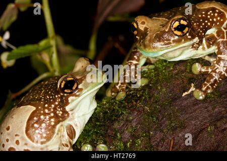 Amazon Milk Frog, phrynohyas resinifictrix, Adults - Stock Photo