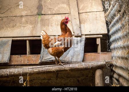 Inside a hen's coop.Chicken run containing an egg bearing free range hen. Inside the run to avoid avian flu,ovum, - Stock Photo
