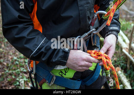 Lumberjack prepares to climb Oak Tree using ropes harnesses carabina and ppe using fingers to knot rope,Tree surgeon - Stock Photo
