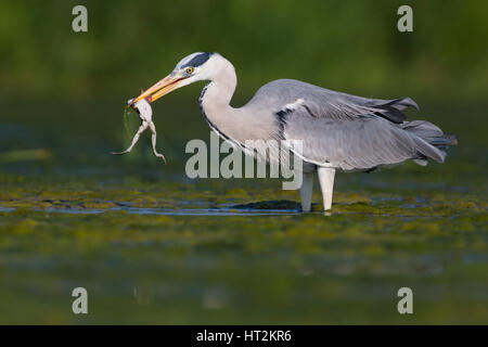 Grey Heron (Ardea cinerea), adult with a caught frog - Stock Photo