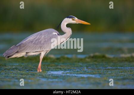 Grey Heron (Ardea cinerea), adult standing in the water - Stock Photo