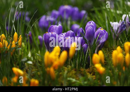 Moscow, Russia. 6th Mar, 2017. Crocuses at an annual flower show at the Apothecary Garden, the Botanical Gardens - Stock Photo