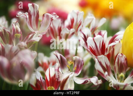 Moscow, Russia. 6th Mar, 2017. Tulips at an annual flower show at the Apothecary Garden, the Botanical Gardens of - Stock Photo