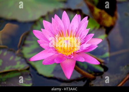 Lotus flower (Nelumbo), lotus, lotus blossom, Singapore
