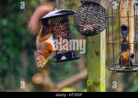 A Red Squirrel (Sciurus vulgaris) eating peanuts by a squirrel-proof seed feeder hanging from a bird table in a - Stock Photo