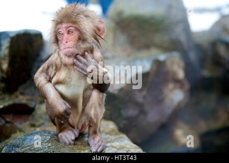 Young Japanese macaque, or snow monkey, in hot springs at Jigokudani NP, Japan. A favorite spot for tourists to - Stock Photo